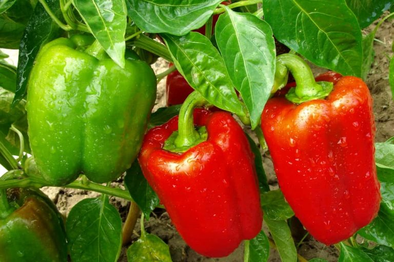 How to Grow, Harvest, and Store Bell Pepper