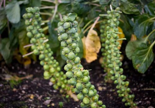 How to Grow, Harvest, and Store Brussels Sprouts?