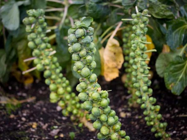 How to Plant Brussels Sprouts in Your Garden (Tricks to Care!)