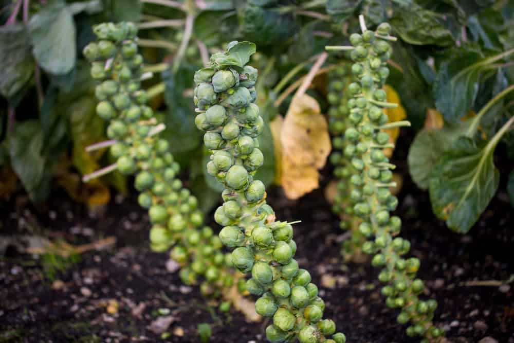How to Grow, Harvest, and Store Brussels Sprouts