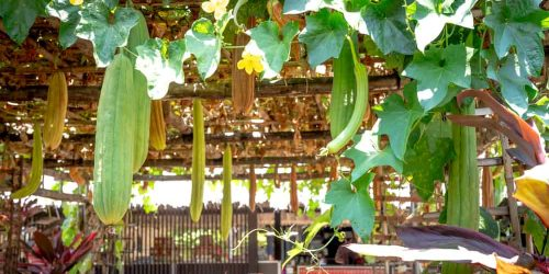 How to Grow Loofah(Luffa) Sponge in Your Garden?