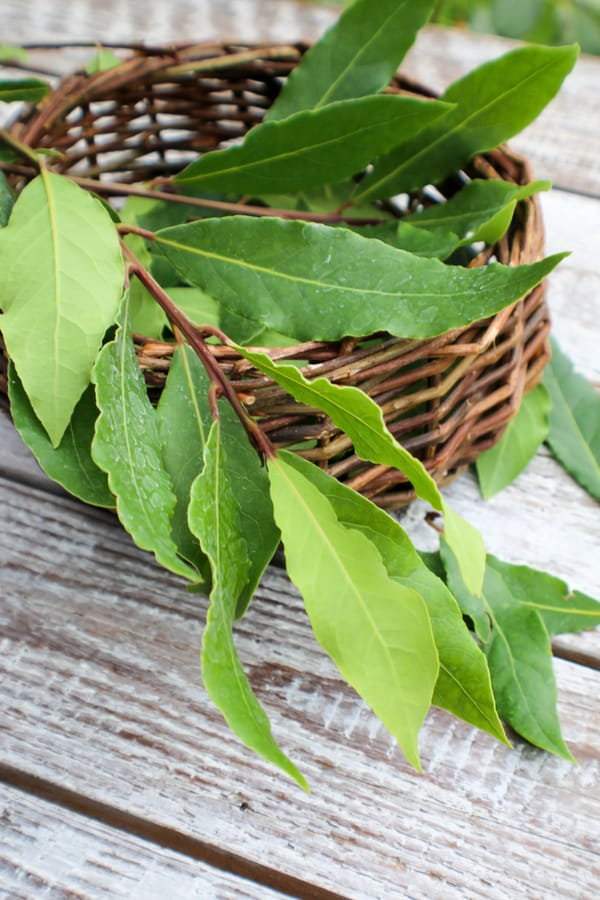 How to Harvest Bay Laurel Foliage