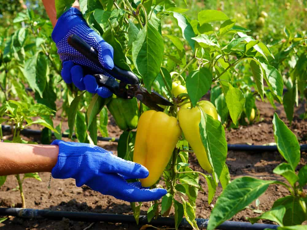 How to Harvest Bell Peppers