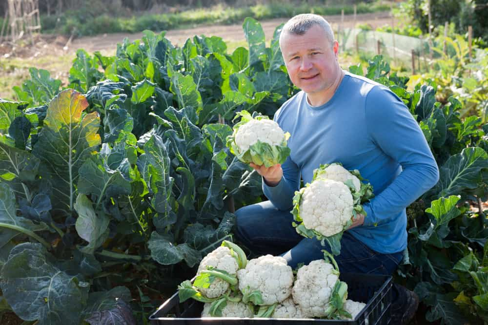 How to Harvest Cauliflower