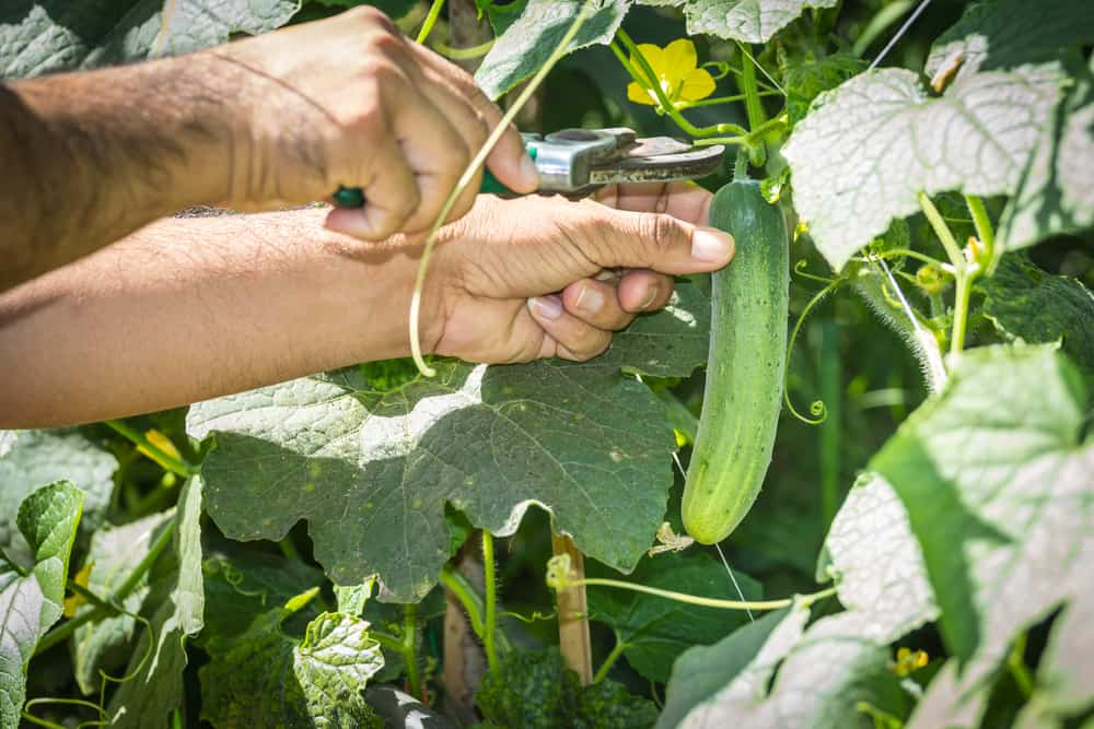 How to Harvest Cucumbers