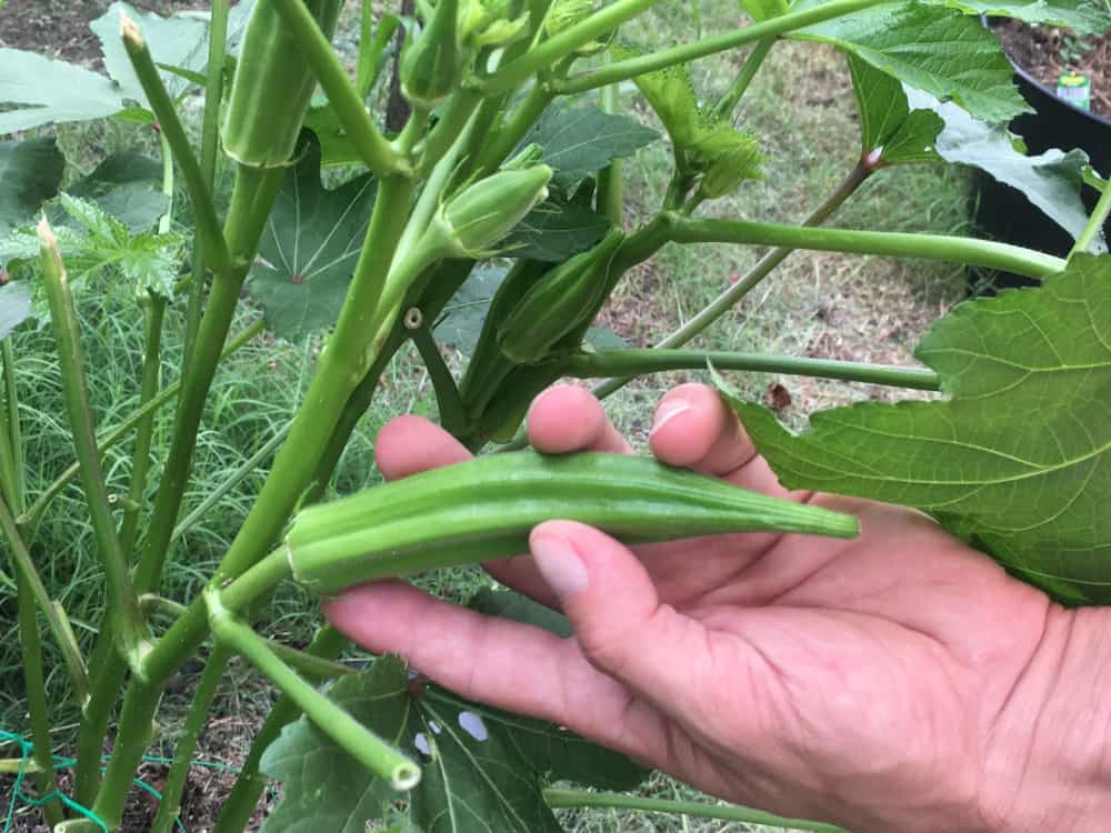How to Harvest Okra
