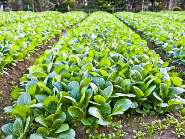 How to Plant Spinach in Your Garden (Tricks to Care!)
