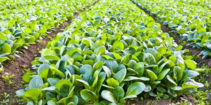 How to Plant, Grow, and Harvest Spinach