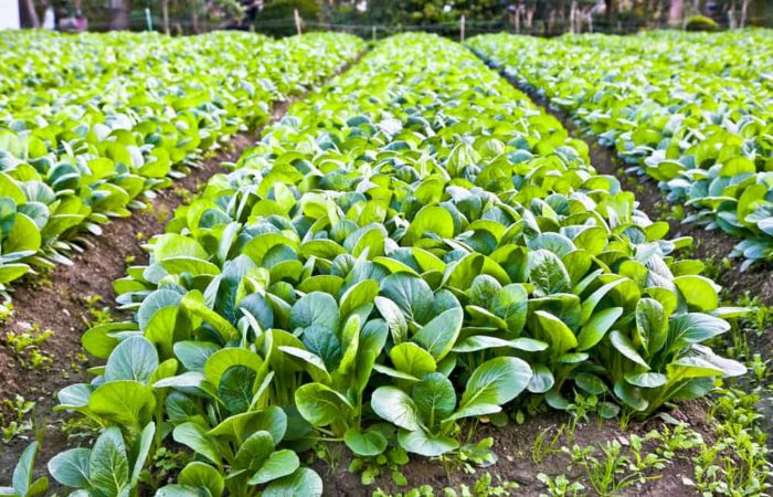 How to Plant, Grow, and Harvest Spinach?