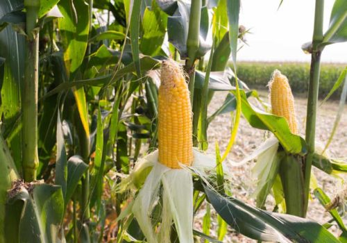 How to Plant, Harvest and Store Sweet Corn?
