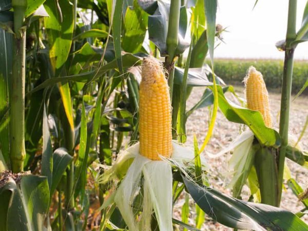 How to Plant Sweet Corn in Your Garden