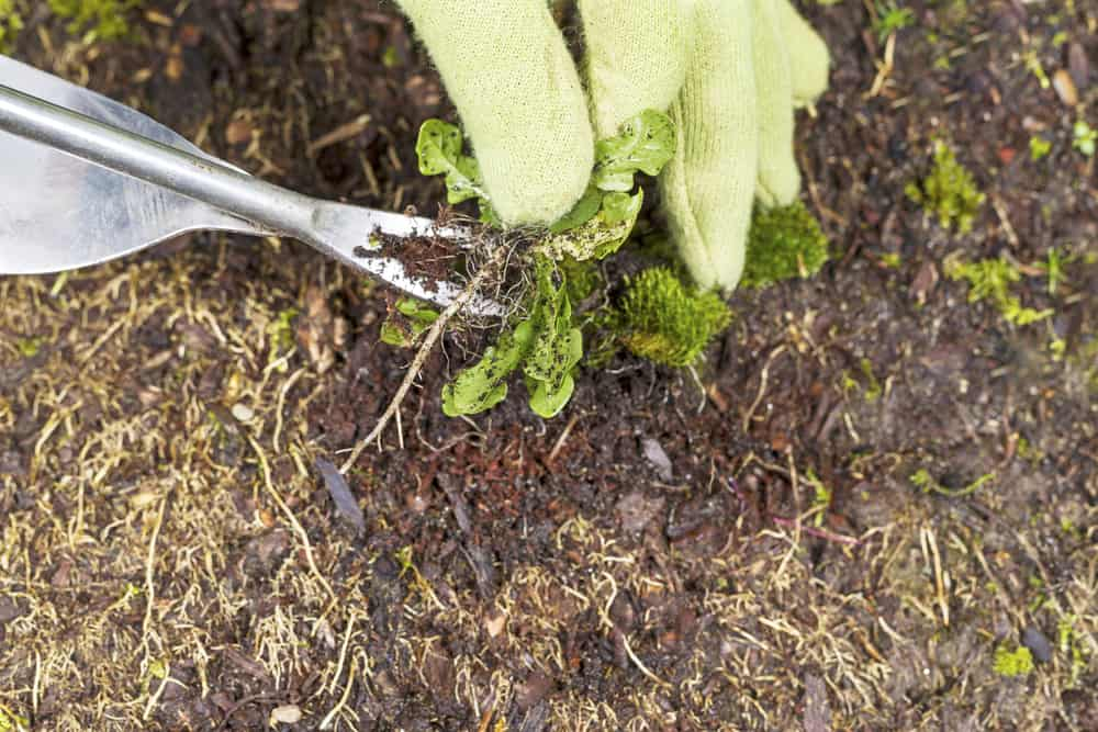 Loofah Sponge Weeding