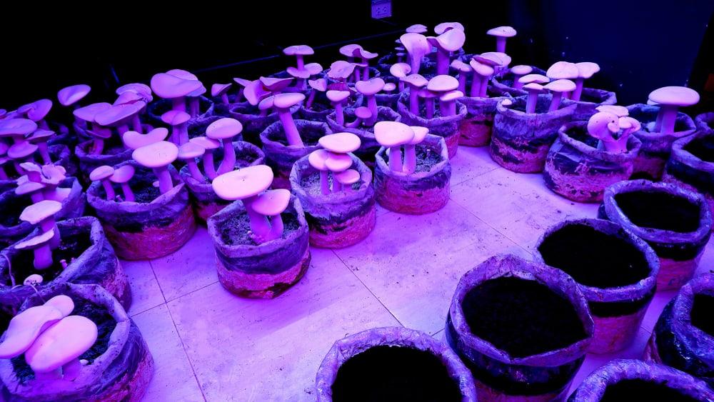 Mushrooms Temperatures