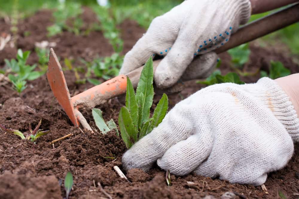 Okra Weeding
