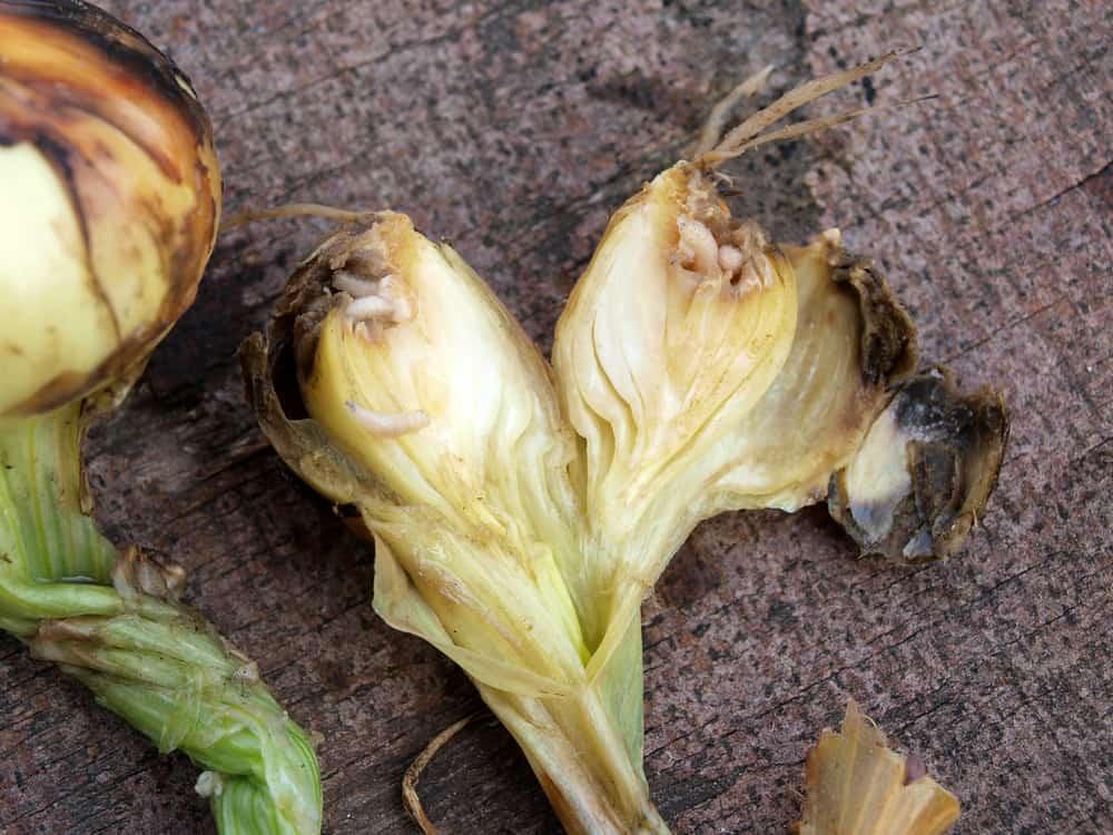 Onion maggots