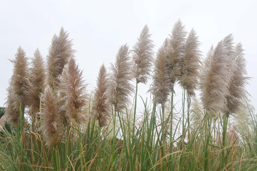 Pampas Grass