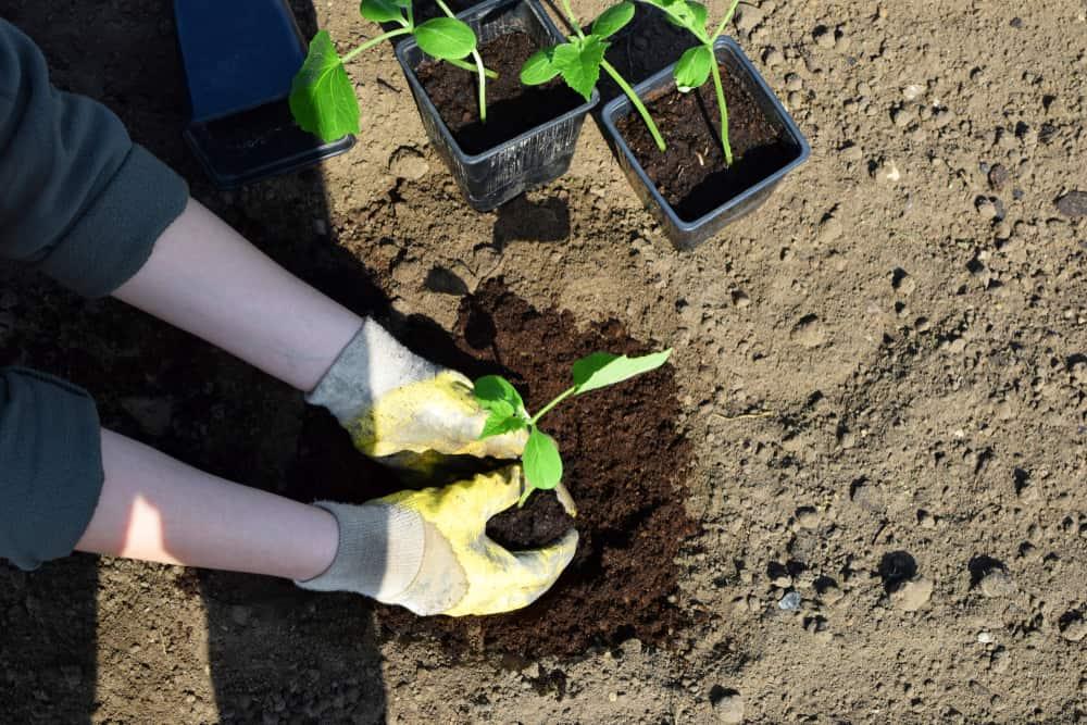 Planting Cucumbers 1