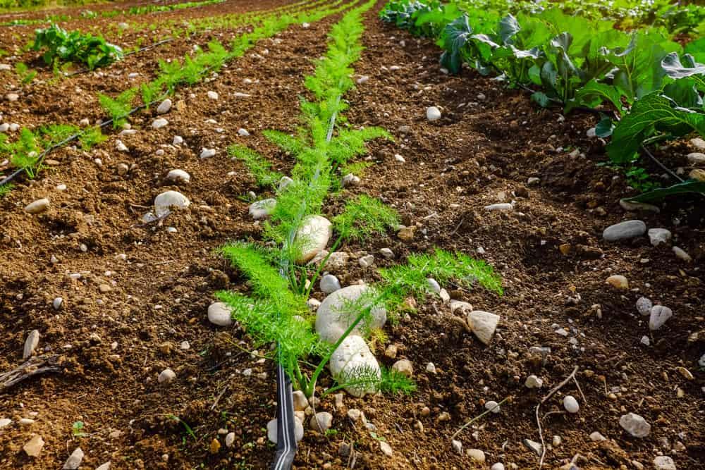 Planting Fennel Plants