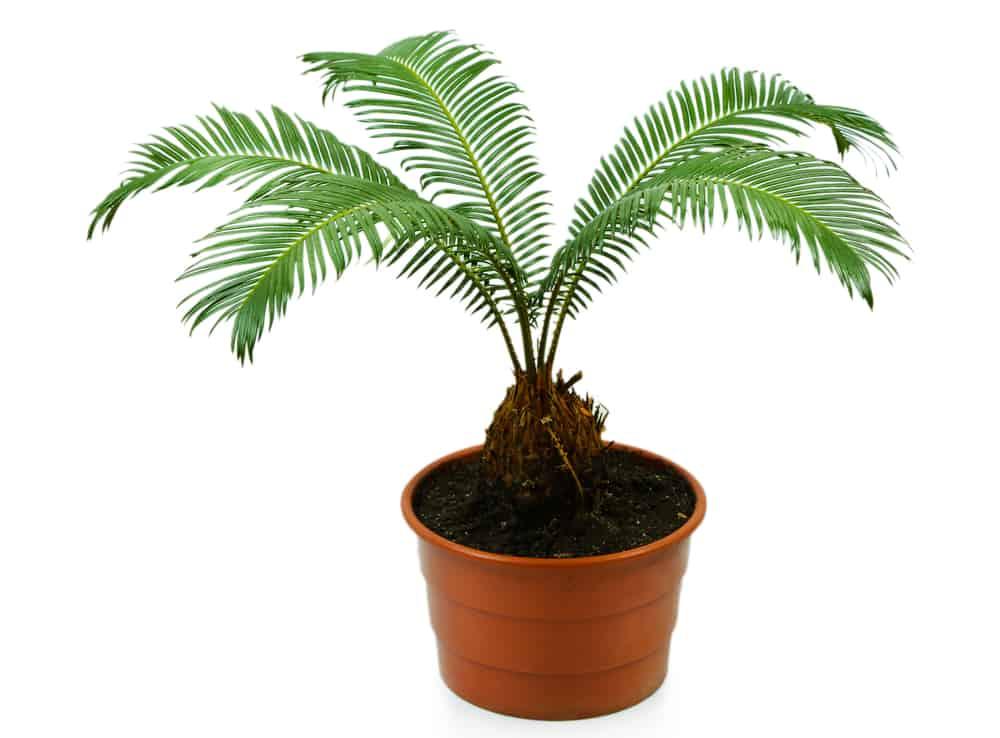 Planting Sago Palm Tree