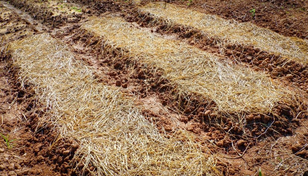 Rhubarb Mulching