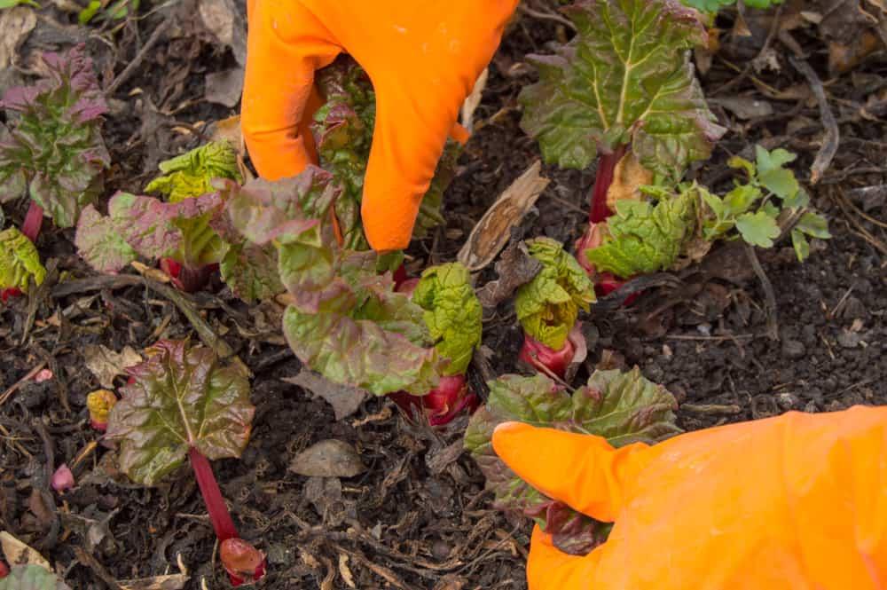 Rhubarb Thinning