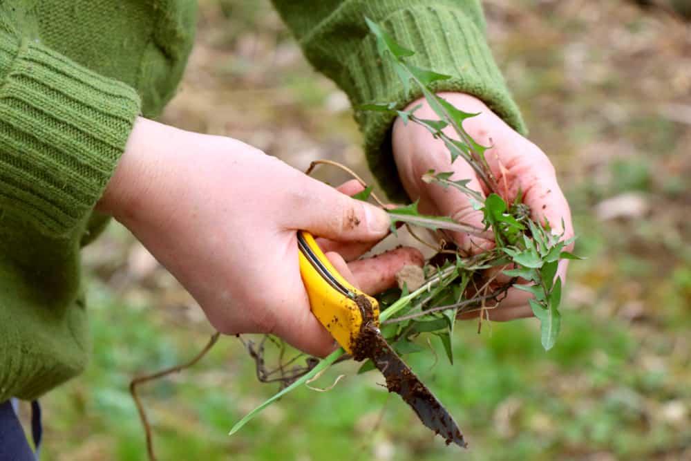 Rhubarb Weeding