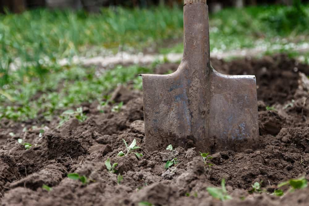 Rhubarb soil