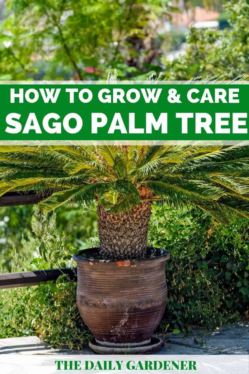 Sago Palm Tree 1