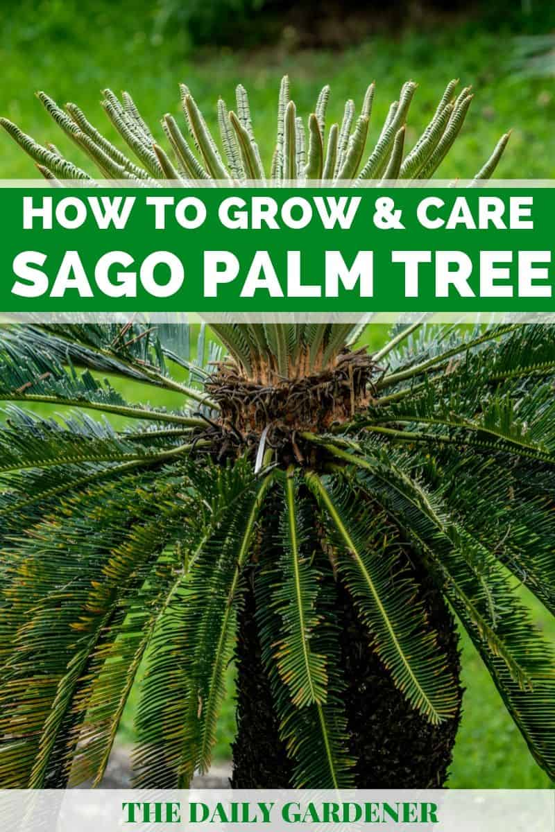 Sago Palm Tree 2