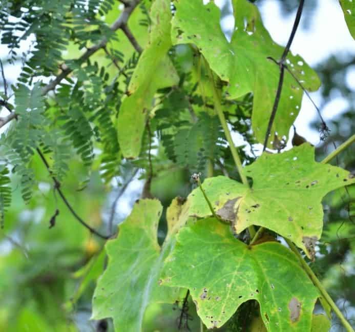 Septoria leaf spot 1