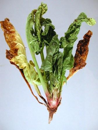 Spinach Fusarium wilt