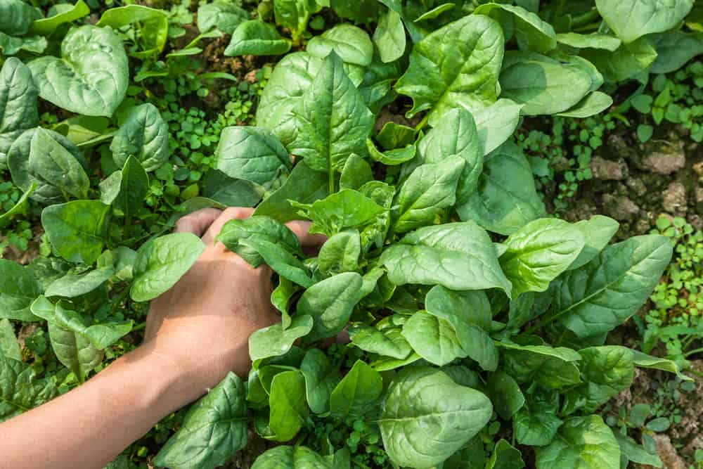 Spinach Thinning