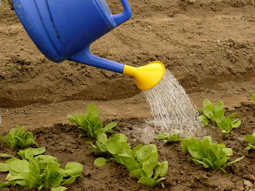 Spinach Watering