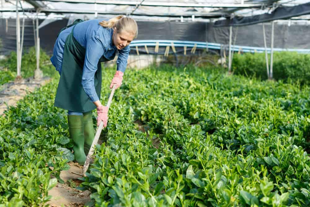 Spinach Weeding