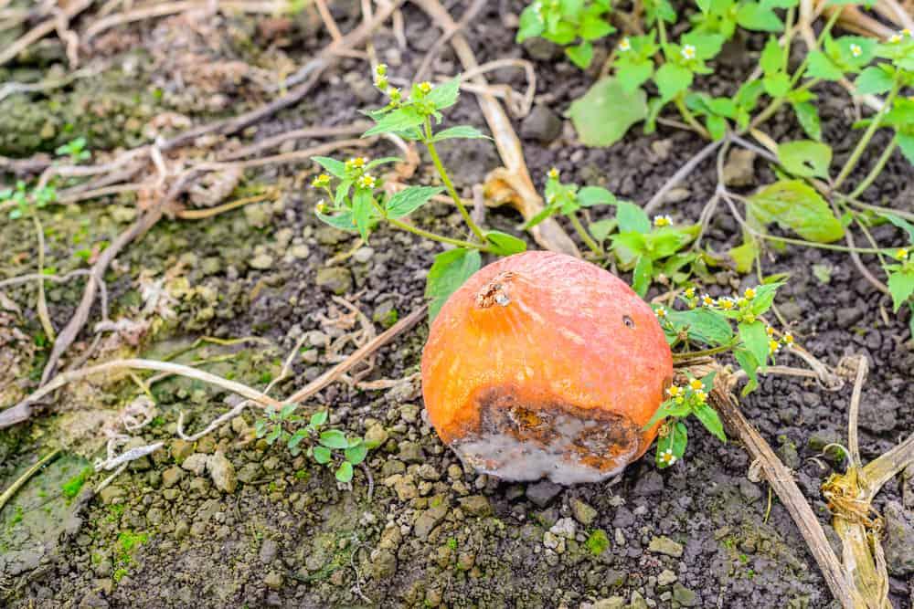 Squash Blossom-end rot