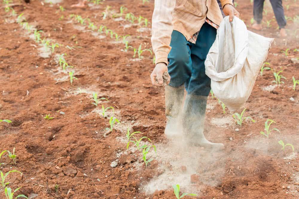 Sweet Corn Fertilizing