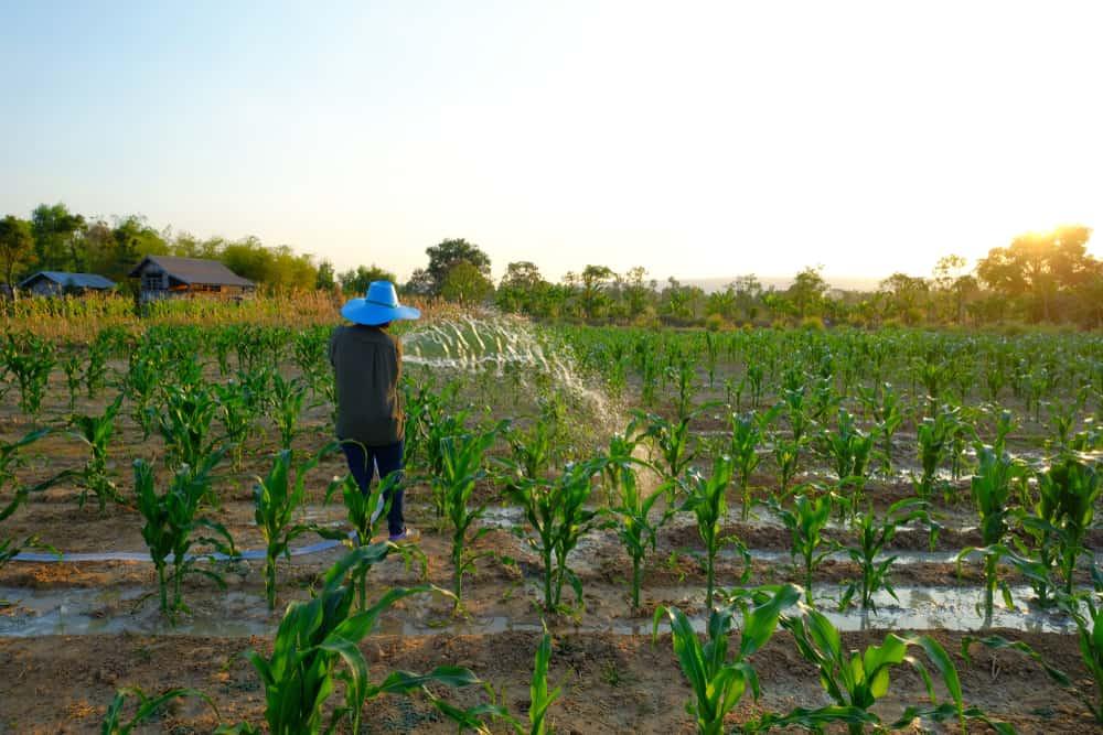 Sweet Corn Watering