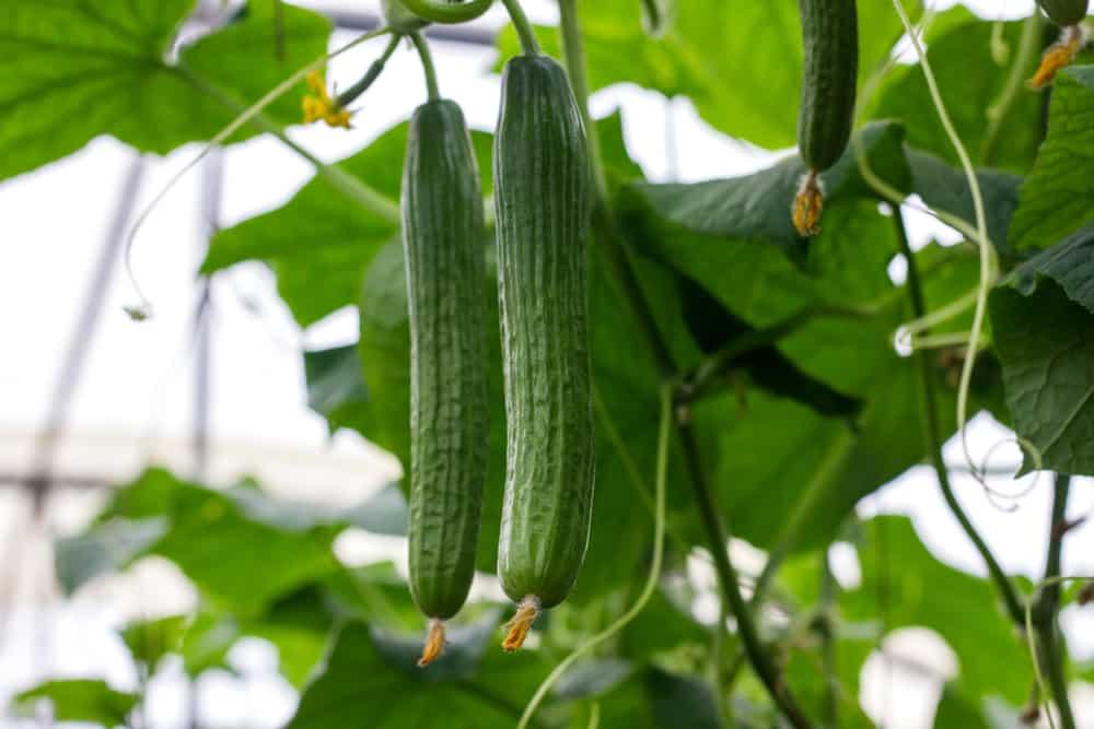 Vine Cucumbers