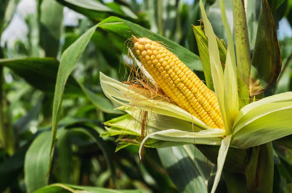 What Should You Know about Sweet Corn