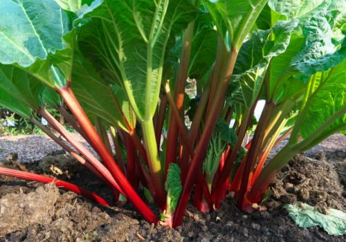 How to Grow, Harvest and Store Rhubarb?