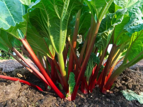 How to Plant Rhubarb in Your Garden (Tricks to Care!)
