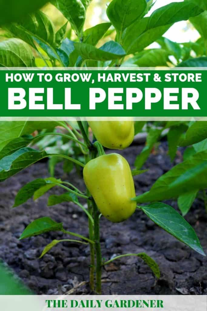 growing bell pepper plants 1