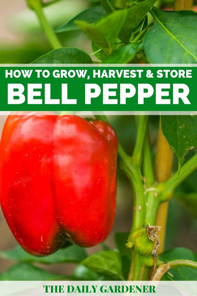 growing bell pepper plants 2