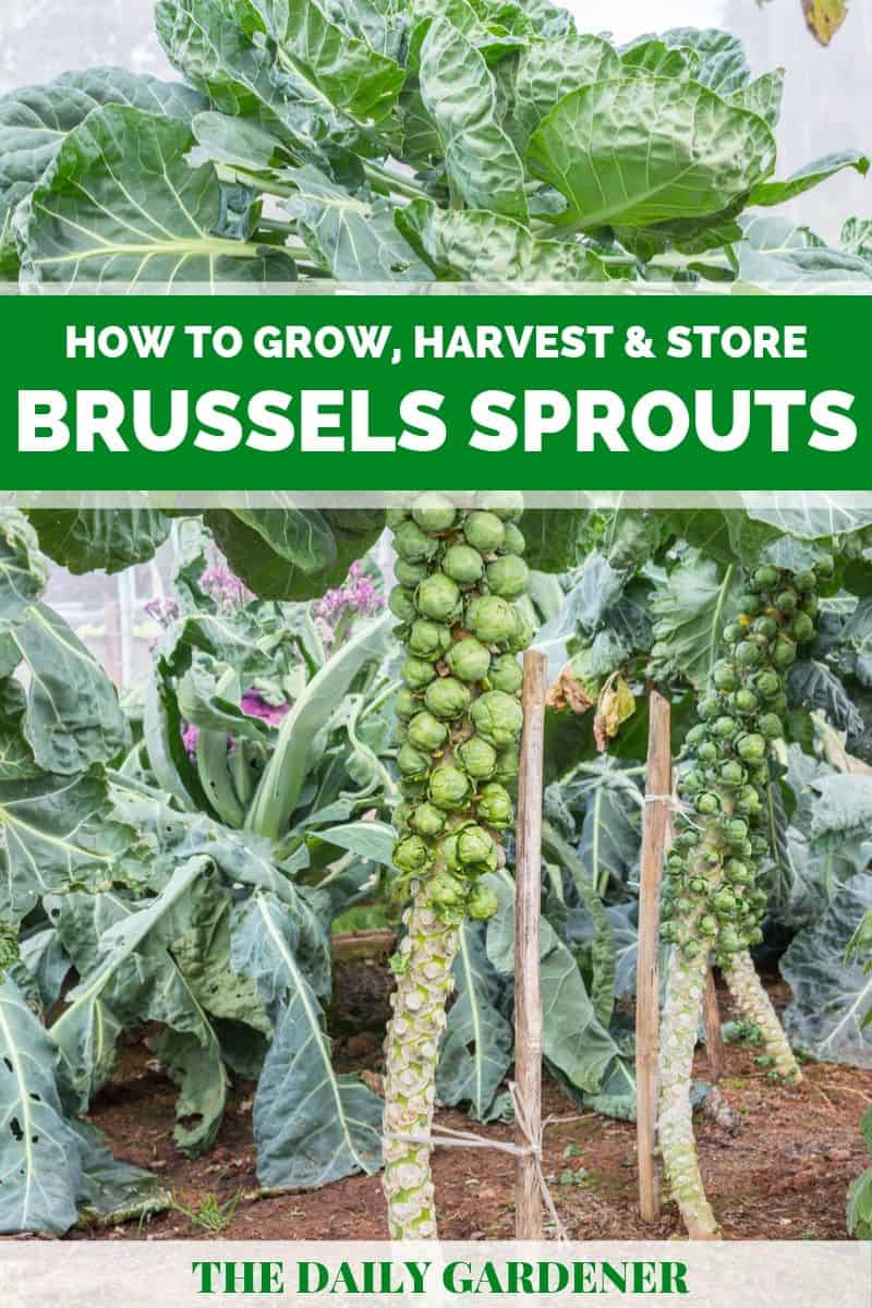 growing brussels sprouts 1