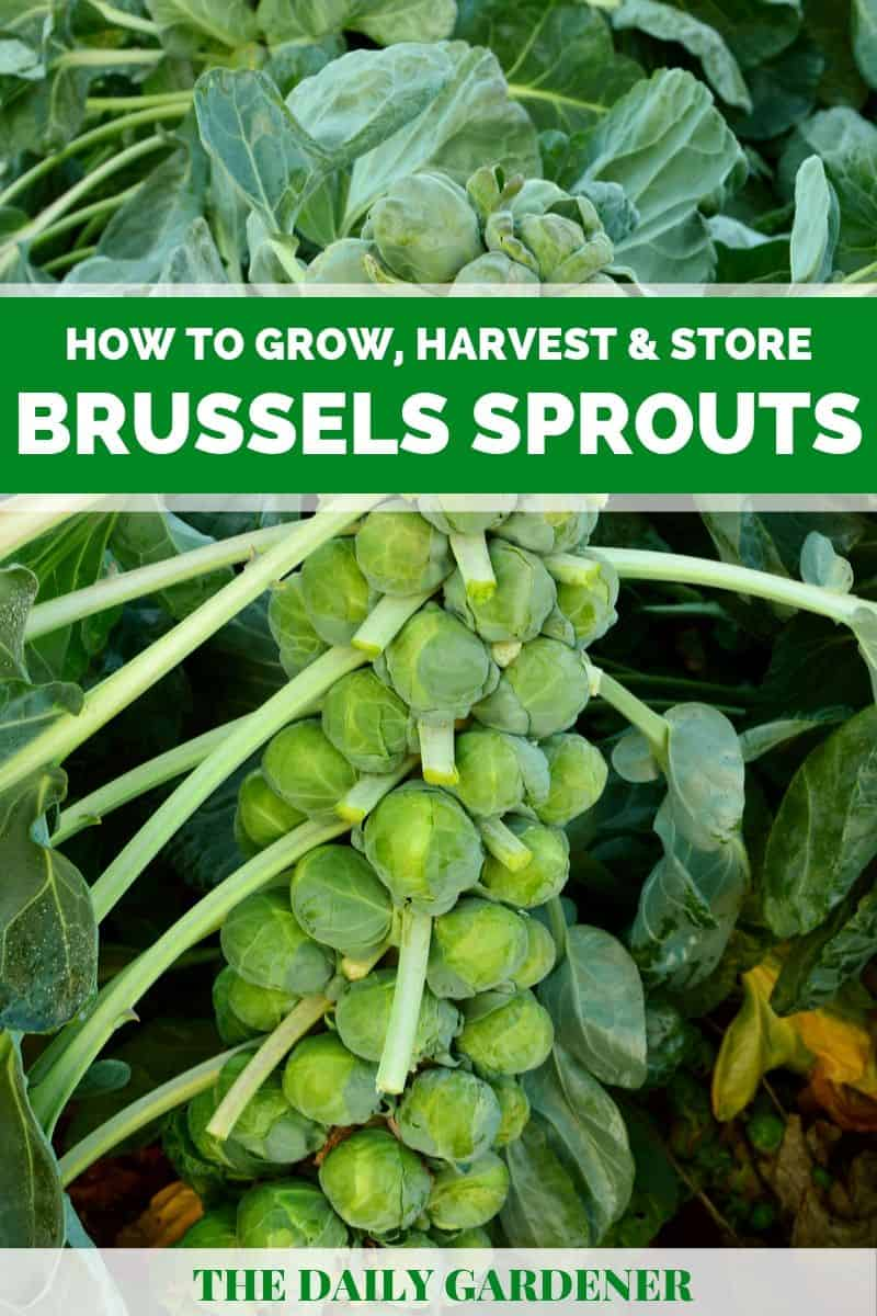 growing brussels sprouts 2