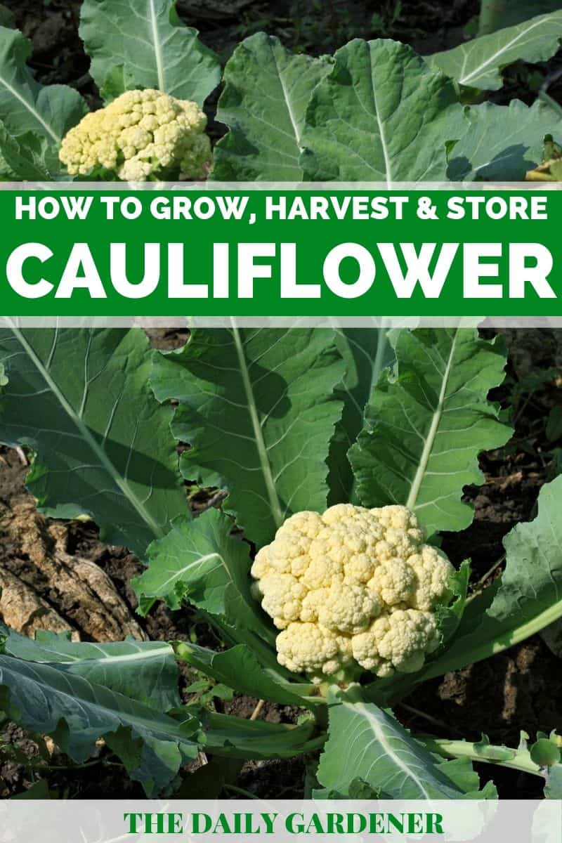 growing cauliflower 1