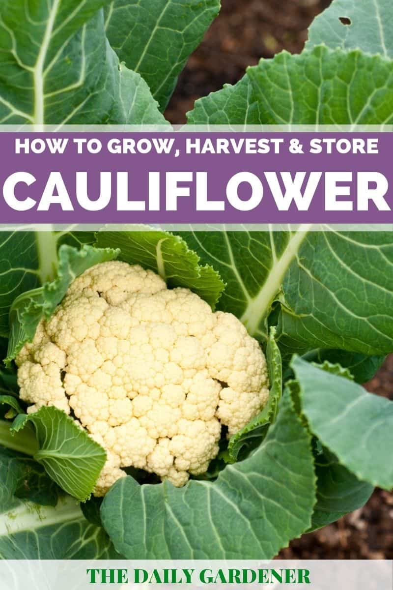 growing cauliflower 2