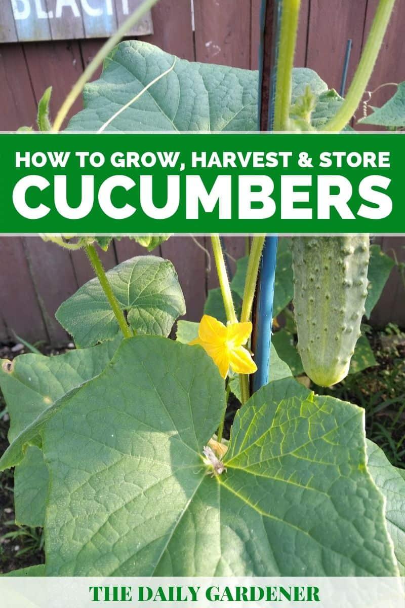 growing cucumbers 3