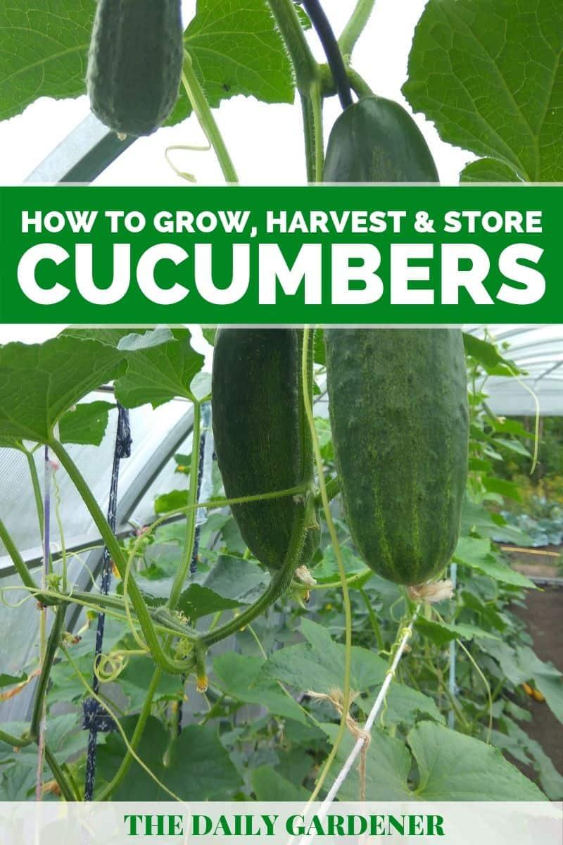 growing cucumbers 4