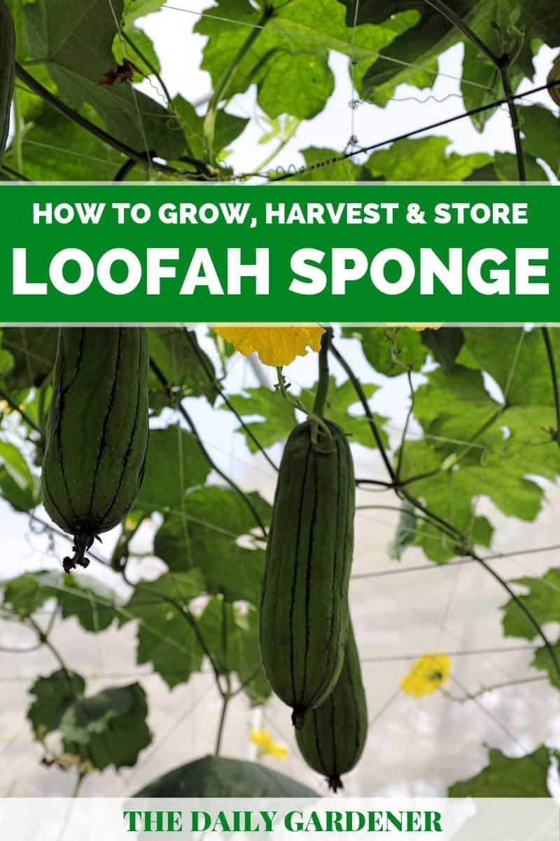 growing loofah sponge 2